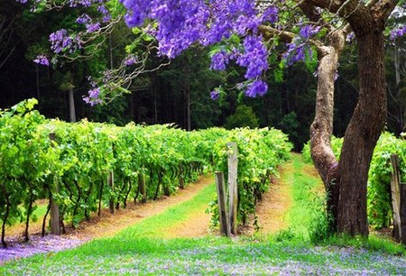 Bago Vineyards - Tourism Adelaide
