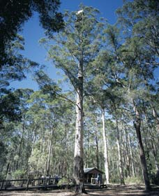 Diamond Tree Lookout Manjimup - Tourism Adelaide