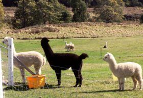 Maydena Country Cabins Accommodation  Alpaca Stud - Tourism Adelaide