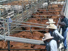 Dalrymple Sales Yards - Cattle Sales - Tourism Adelaide