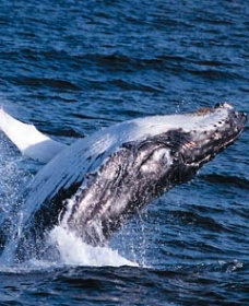 Sydney Eco Whale Watching - Tourism Adelaide