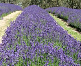 Yuulong Lavender Estate - Tourism Adelaide
