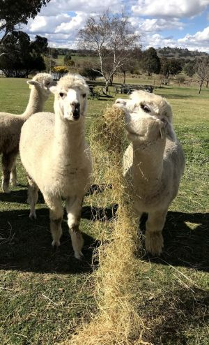 Clearview Alpacas - Tourism Adelaide