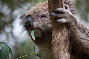 Phillip Island Koala Conservation Centre Entry ticket - Tourism Adelaide