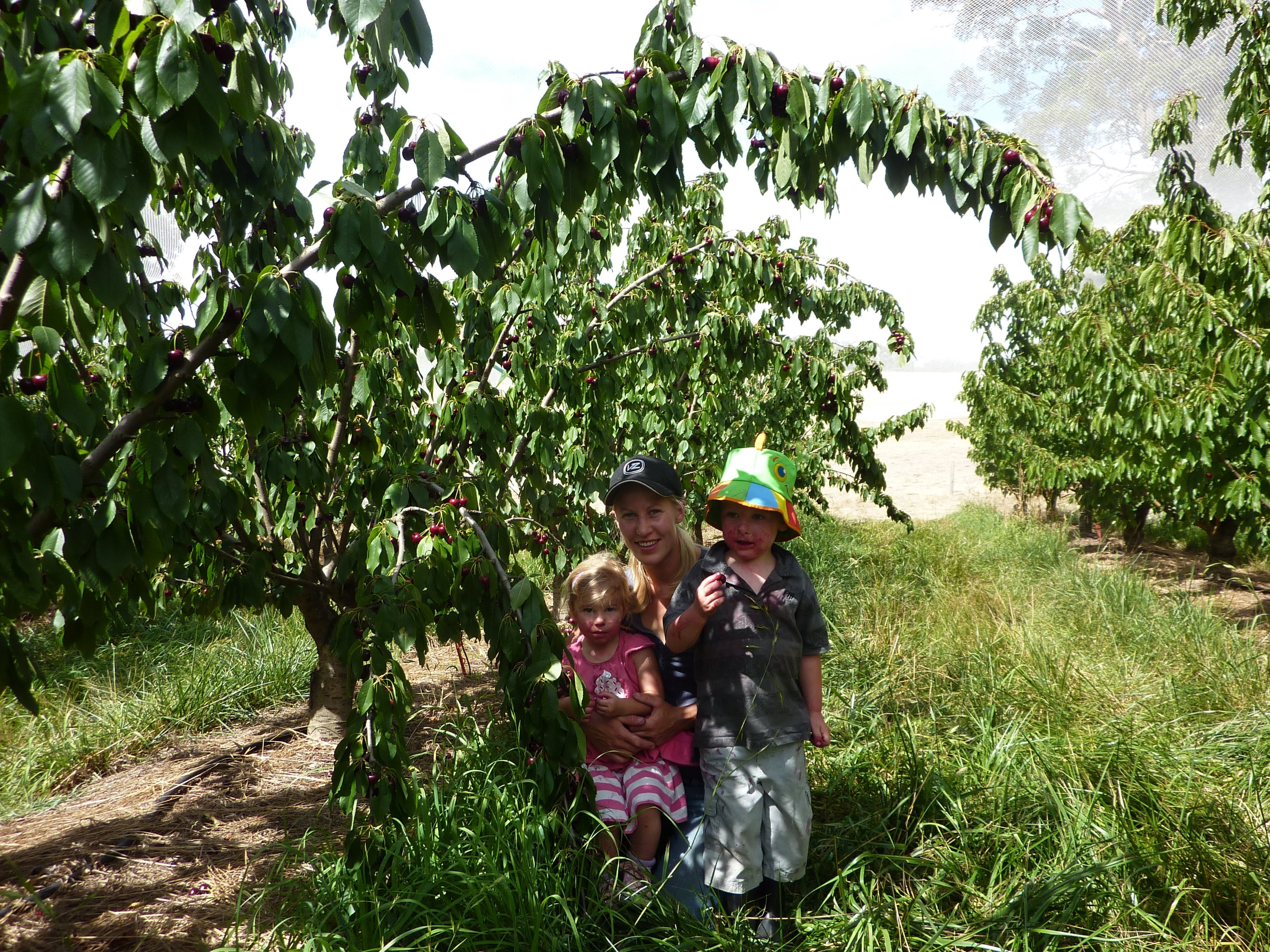 Harben Vale Pick Your Own Cherries - Tourism Adelaide
