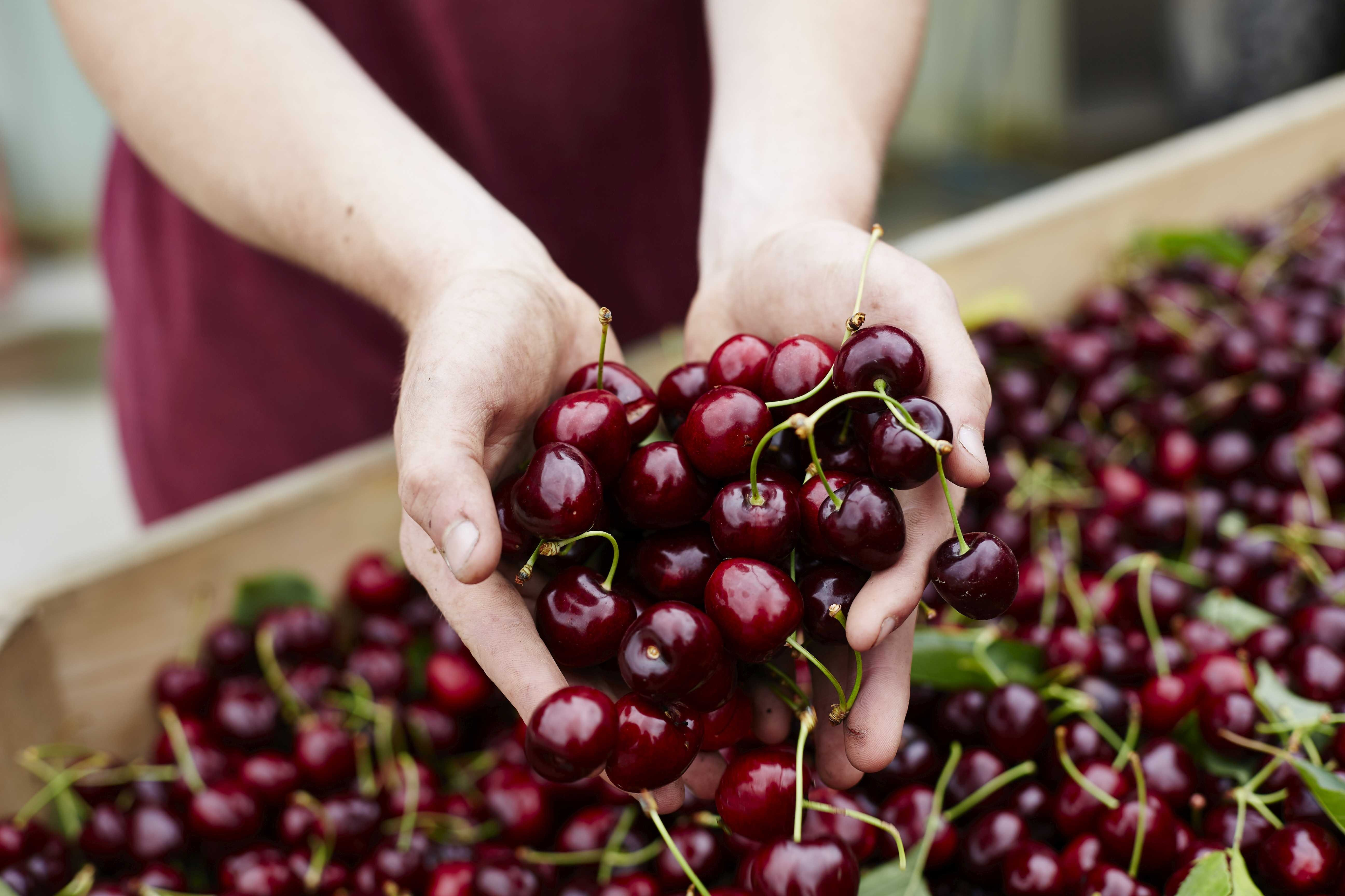 Yarra Valley Cherries - Tourism Adelaide