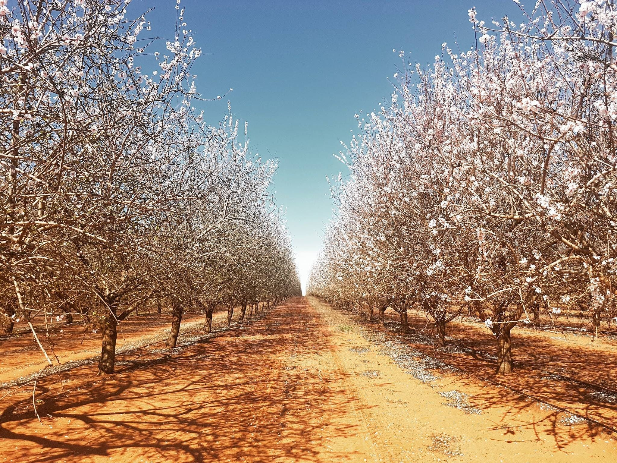 Mallee Almond Blossom Festival - Tourism Adelaide