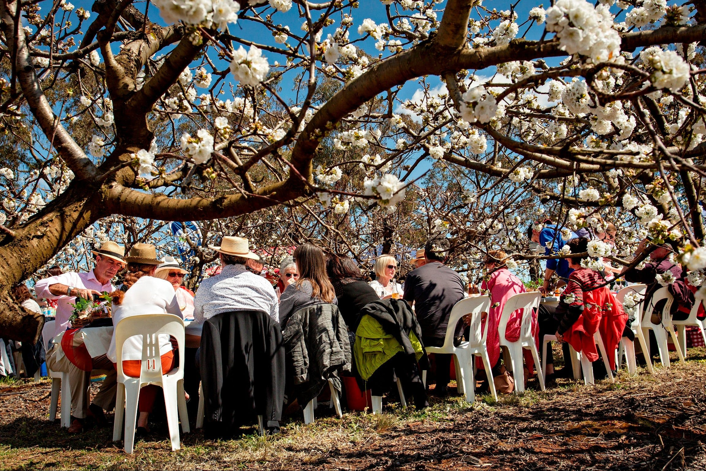 Young Cherry Blossom Long Lazy Lunch - Tourism Adelaide