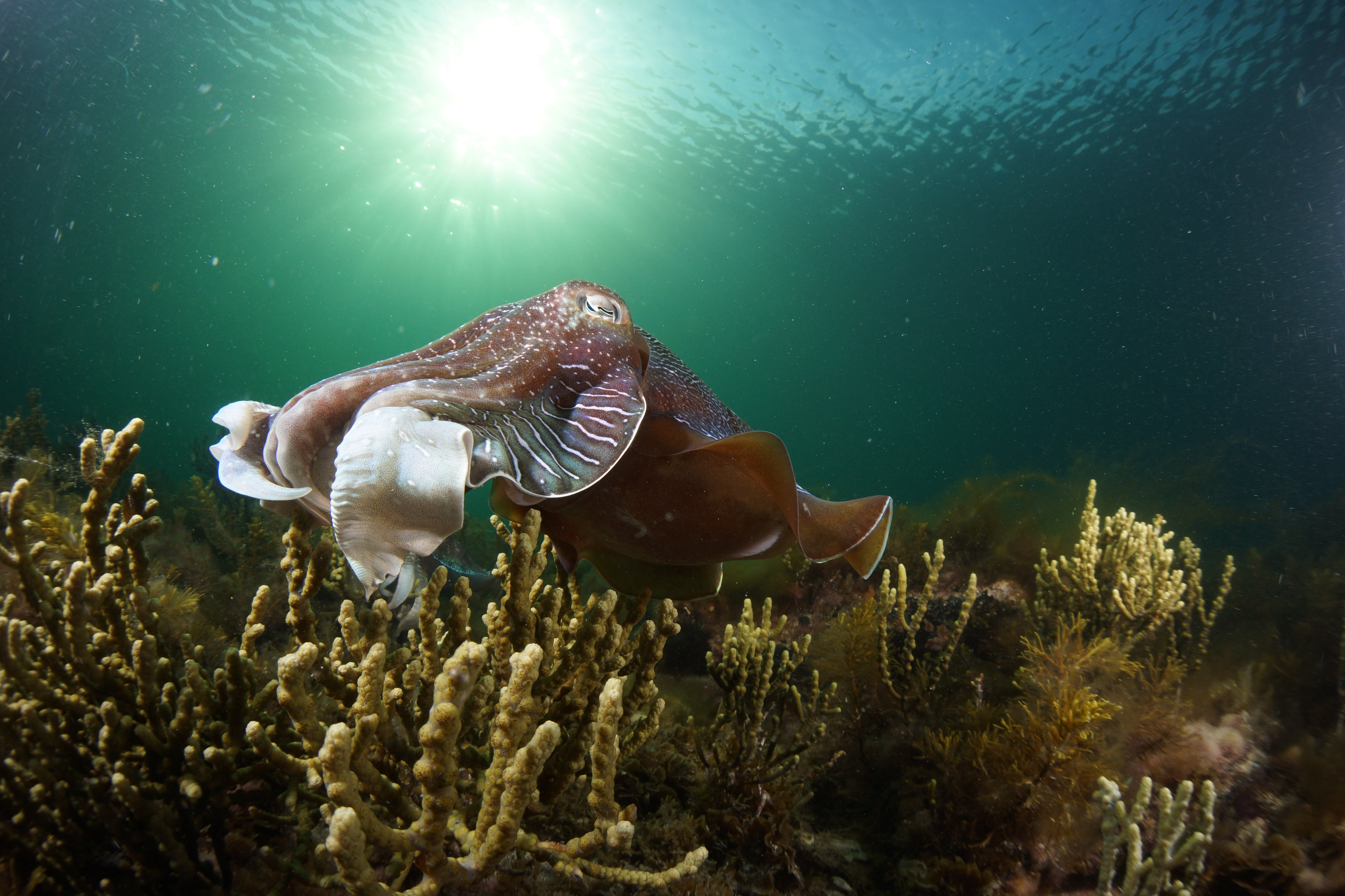 Cuttlefish Diving  Snorkeling EVERYDAY May -August - Tourism Adelaide